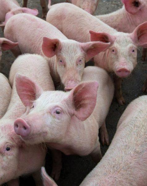 Pigs diseases. African swine fever in Europe. DNA virus in the Asfarviridae family.