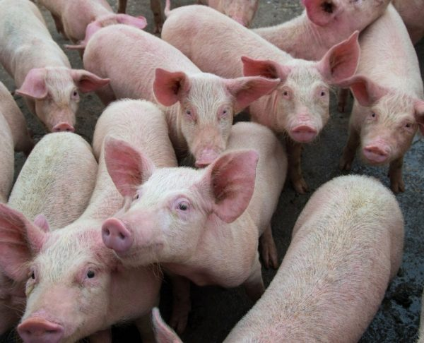 Pigs diseases. African swine fever in Europe. DNA virus in the Asfarviridae family.